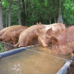 Pigs at trough, also fed by gravity from the converted tank near the house