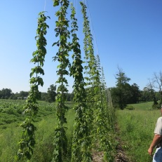 Mike inspecting the hops with strawberries in the background