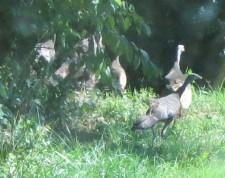 turkeys on the farm