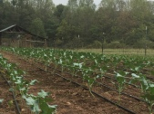 Cold crops in the ground with watering lines