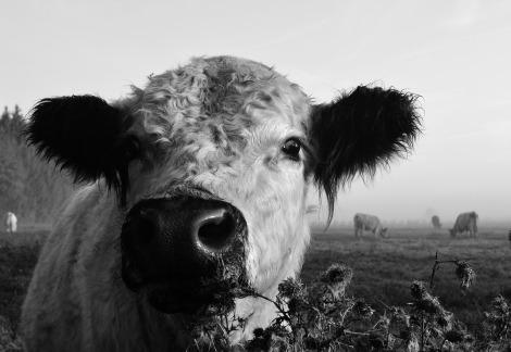 cow-2791106_1280