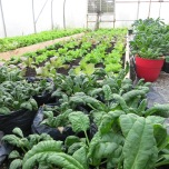 Two varieties of spinach, with lettuces in the background