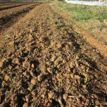 Tons of leaf mulch are bringing the soil to life and making a happy home for these garlic starts