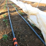 Drip irrigation for the fava bean rows