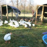 Bonnie, the goose alarm and her friends