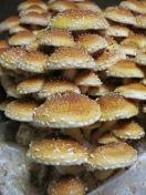 Hamburger buns or cinnamon cap mushrooms?