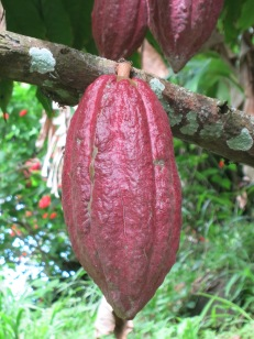 Cocoa bean pod on the tree