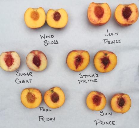Peach tasting