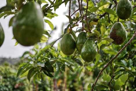avocado fruits hanging on tree